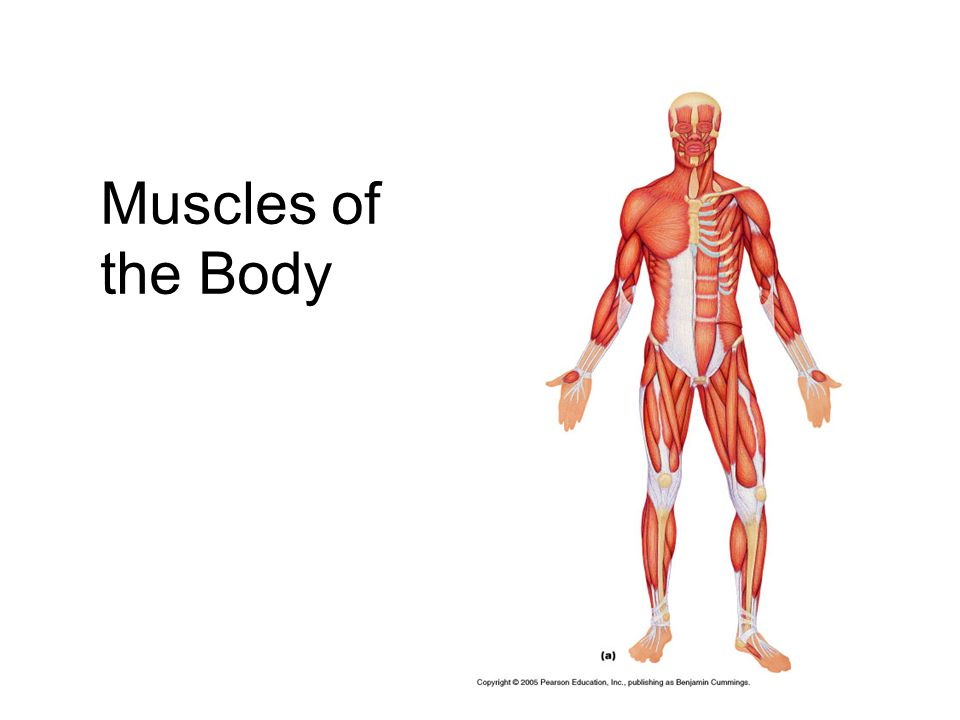 Axial muscles  Lie anterior and posterior to body axis (vertebral column)  Move trunk; maintain posture  Skeletal muscles of thorax, abdomen, and pelvis  Many muscles of neck  A few muscles in head