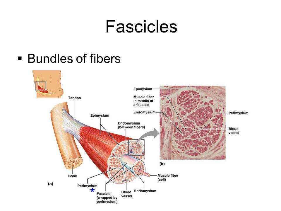 Skeletal muscle Epimysium: surrounds whole muscle Perimysium is around fascicle Endomysium is around each muscle fiber