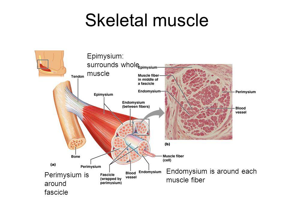 Anterior leg extensors Mainly extend toes and dorsiflex foot  Tibialis anterior  Extensor digitorum longus  Extensor hallucis longus