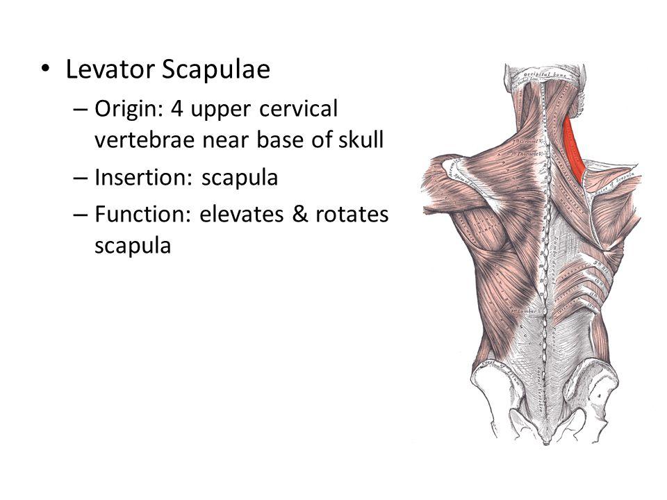 Levator Scapulae – Origin: 4 upper cervical vertebrae near base of skull – Insertion: scapula – Function: elevates & rotates scapula