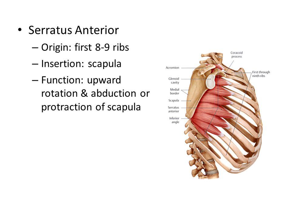 Serratus Anterior – Origin: first 8-9 ribs – Insertion: scapula – Function: upward rotation & abduction or protraction of scapula