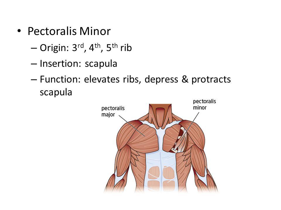 Pectoralis Minor – Origin: 3 rd, 4 th, 5 th rib – Insertion: scapula – Function: elevates ribs, depress & protracts scapula