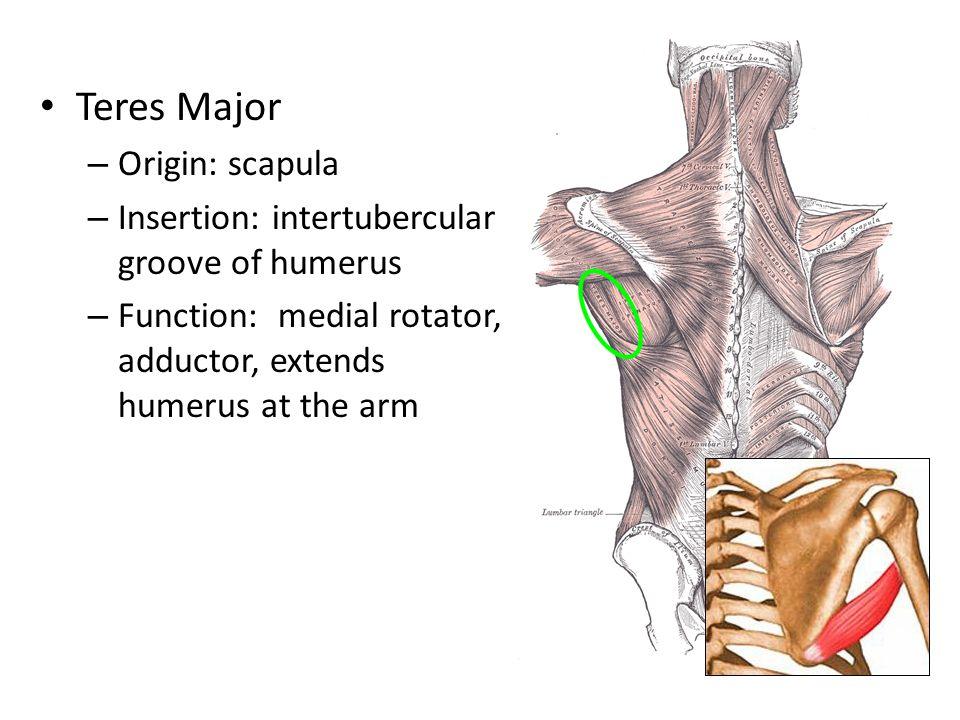 Teres Major – Origin: scapula – Insertion: intertubercular groove of humerus – Function: medial rotator, adductor, extends humerus at the arm