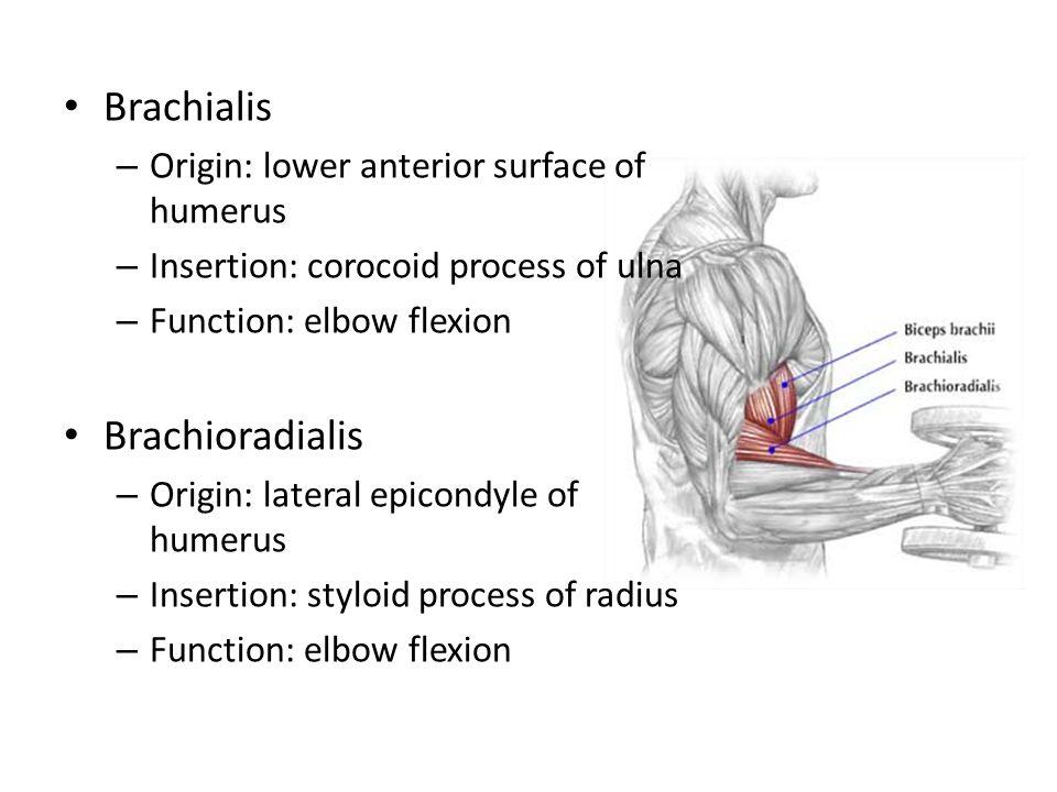 Brachialis – Origin: lower anterior surface of humerus – Insertion: corocoid process of ulna – Function: elbow flexion Brachioradialis – Origin: later