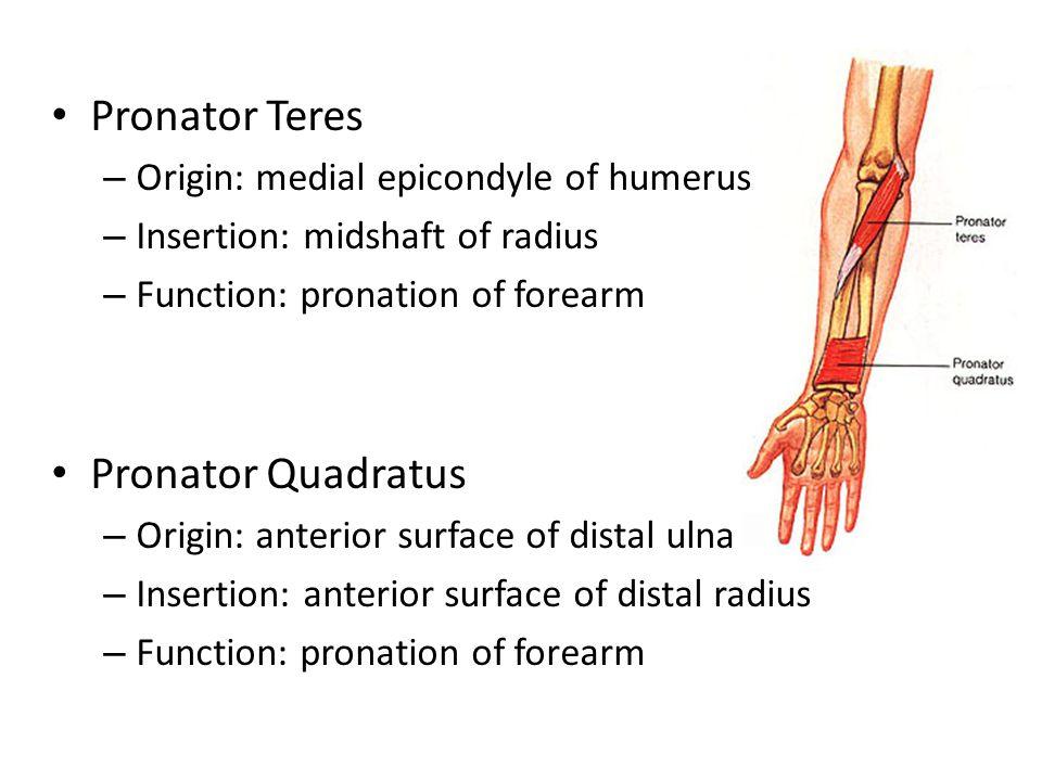 Pronator Teres – Origin: medial epicondyle of humerus – Insertion: midshaft of radius – Function: pronation of forearm Pronator Quadratus – Origin: an