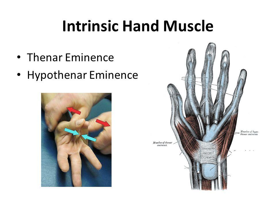 Intrinsic Hand Muscle Thenar Eminence Hypothenar Eminence