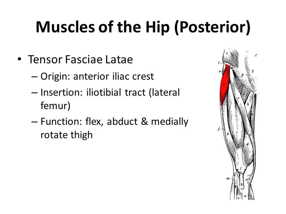 Muscles of the Hip (Posterior) Tensor Fasciae Latae – Origin: anterior iliac crest – Insertion: iliotibial tract (lateral femur) – Function: flex, abd