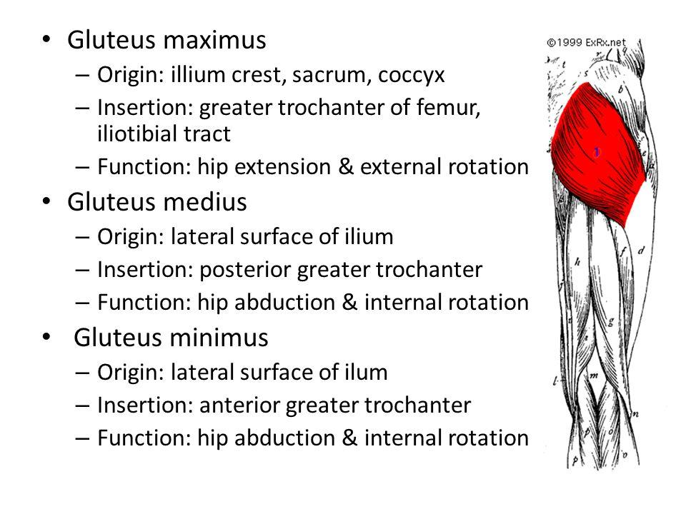 Gluteus maximus – Origin: illium crest, sacrum, coccyx – Insertion: greater trochanter of femur, iliotibial tract – Function: hip extension & external