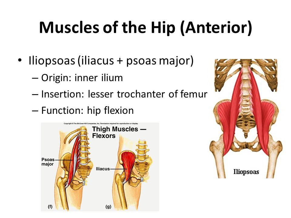 Muscles of the Hip (Anterior) Iliopsoas (iliacus + psoas major) – Origin: inner ilium – Insertion: lesser trochanter of femur – Function: hip flexion