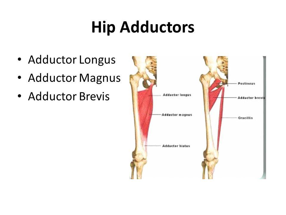 Hip Adductors Adductor Longus Adductor Magnus Adductor Brevis