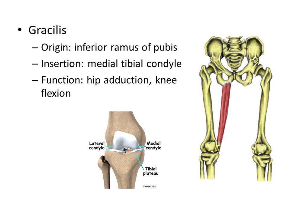 Gracilis – Origin: inferior ramus of pubis – Insertion: medial tibial condyle – Function: hip adduction, knee flexion