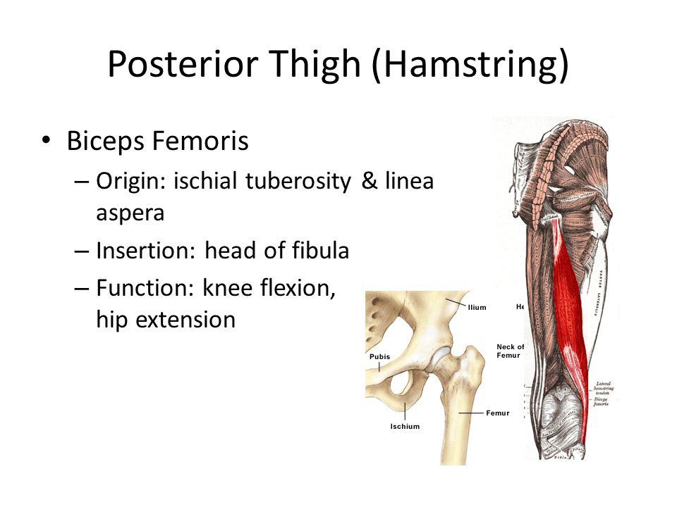 Posterior Thigh (Hamstring) Biceps Femoris – Origin: ischial tuberosity & linea aspera – Insertion: head of fibula – Function: knee flexion, hip exten