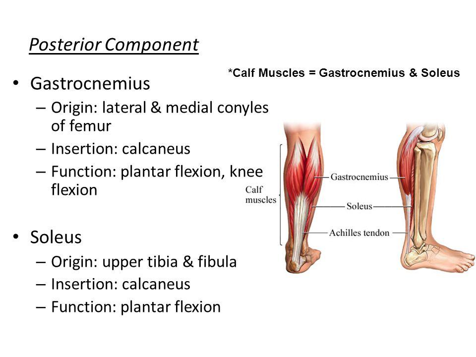 Posterior Component Gastrocnemius – Origin: lateral & medial conyles of femur – Insertion: calcaneus – Function: plantar flexion, knee flexion Soleus