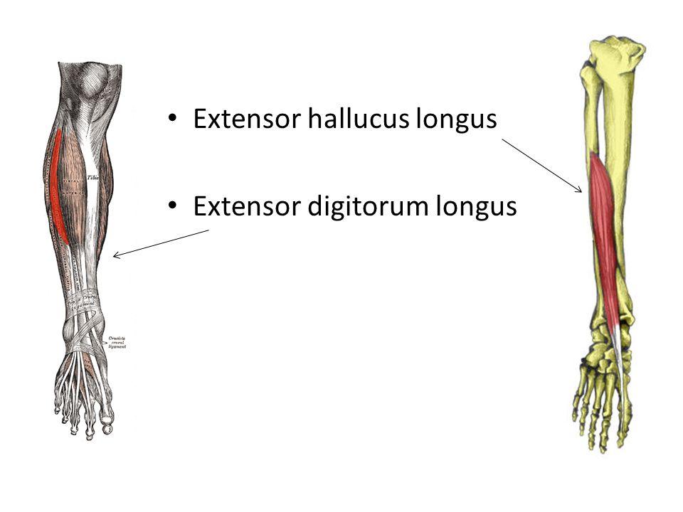 Extensor hallucus longus Extensor digitorum longus