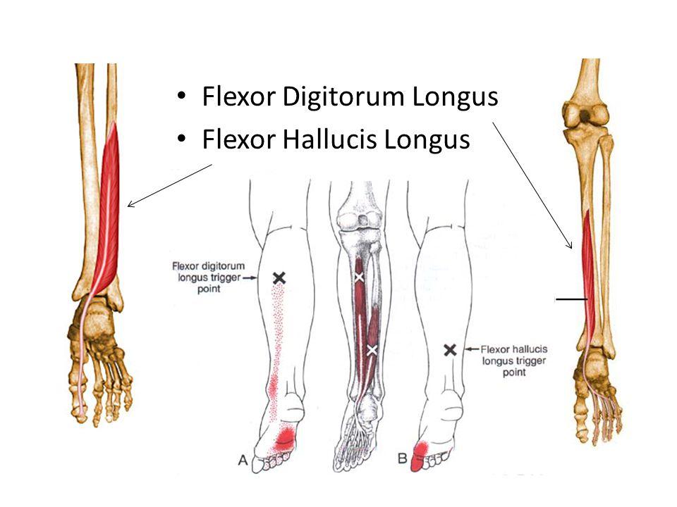 Flexor Digitorum Longus Flexor Hallucis Longus