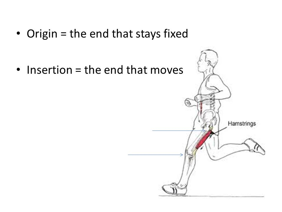 Origin = the end that stays fixed Insertion = the end that moves