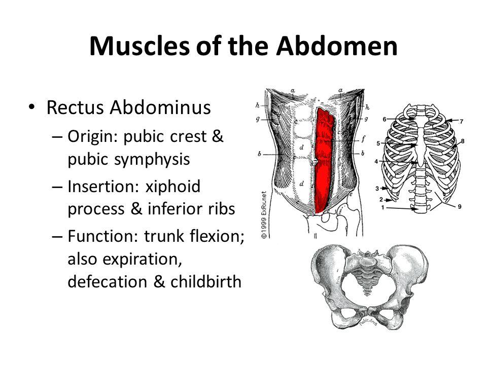 Muscles of the Abdomen Rectus Abdominus – Origin: pubic crest & pubic symphysis – Insertion: xiphoid process & inferior ribs – Function: trunk flexion