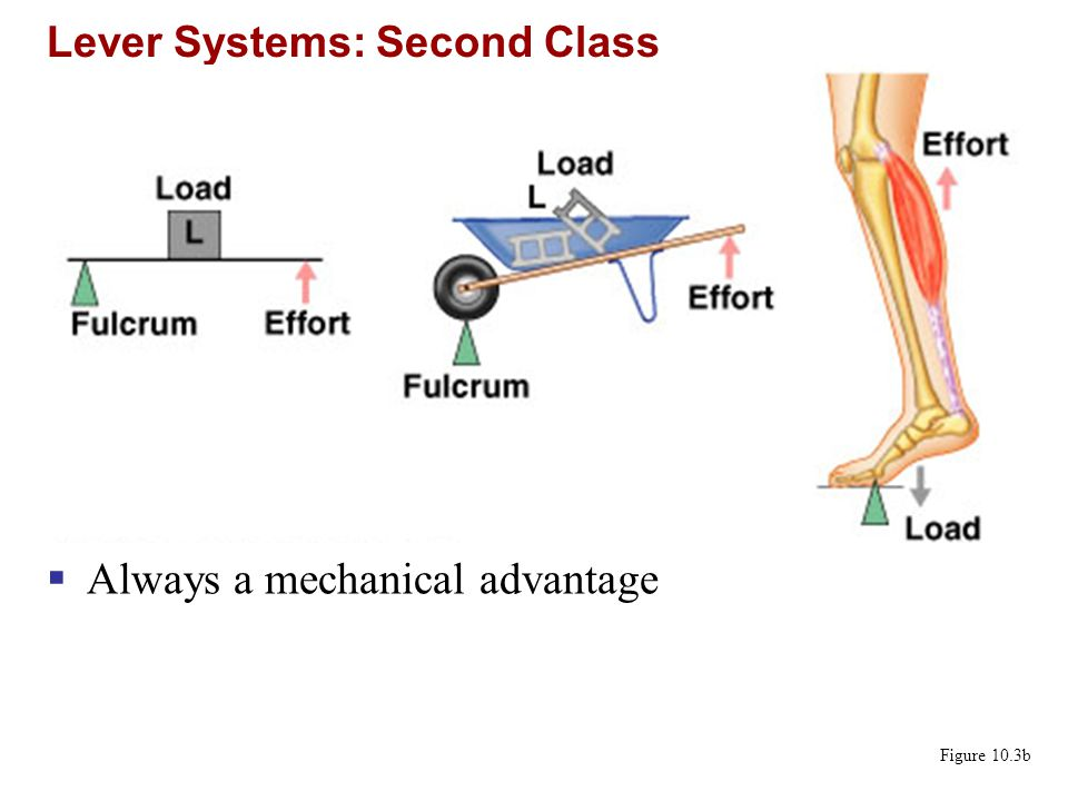 Lever Systems: Second Class Figure 10.3b  Always a mechanical advantage