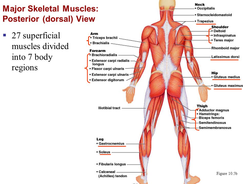 Major Skeletal Muscles: Posterior (dorsal) View  27 superficial muscles divided into 7 body regions Figure 10.5b