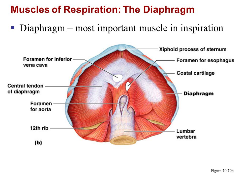Muscles of Respiration: The Diaphragm Figure 10.10b  Diaphragm – most important muscle in inspiration