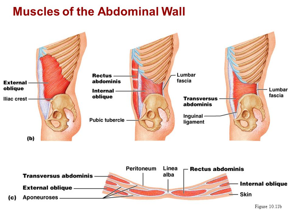 Muscles of the Abdominal Wall Figure 10.11b