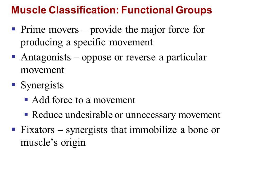 Shoulder Muscles Figure 10.13a Prime movers