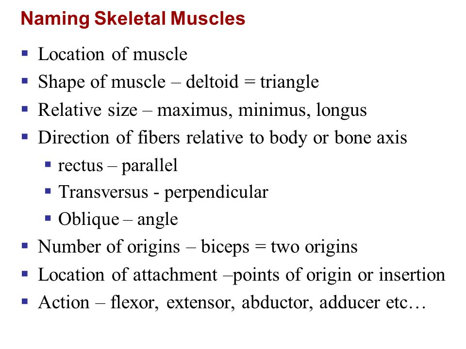 Naming Skeletal Muscles  Location of muscle  Shape of muscle – deltoid = triangle  Relative size – maximus, minimus, longus  Direction of fibers r