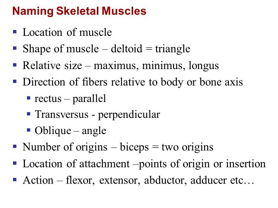 Shoulder Muscles Figure 10.13b
