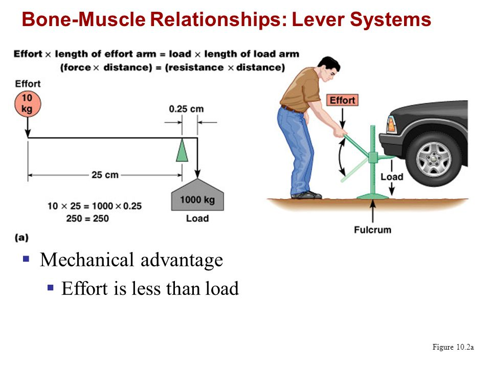 Bone-Muscle Relationships: Lever Systems Figure 10.2b  Mechanical disadvantage  Effort is greater than load
