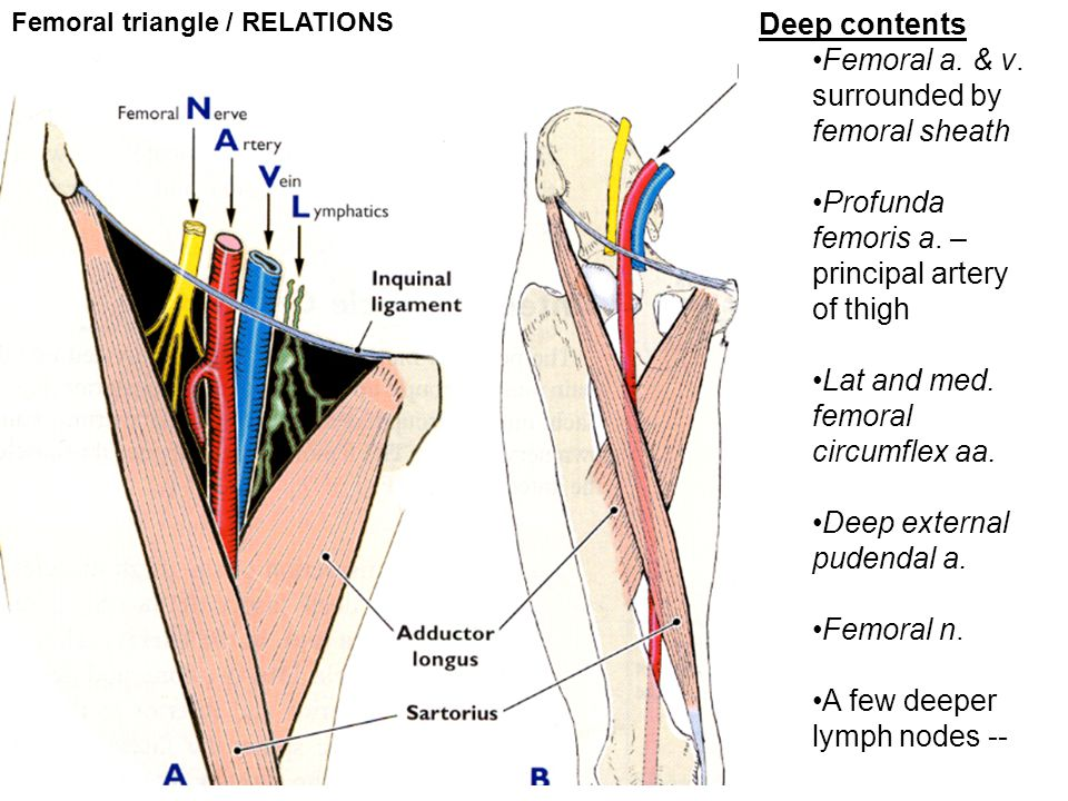 Femoral triangle / RELATIONS Deep contents Femoral a. & v. surrounded by femoral sheath Profunda femoris a. – principal artery of thigh Lat and med. f