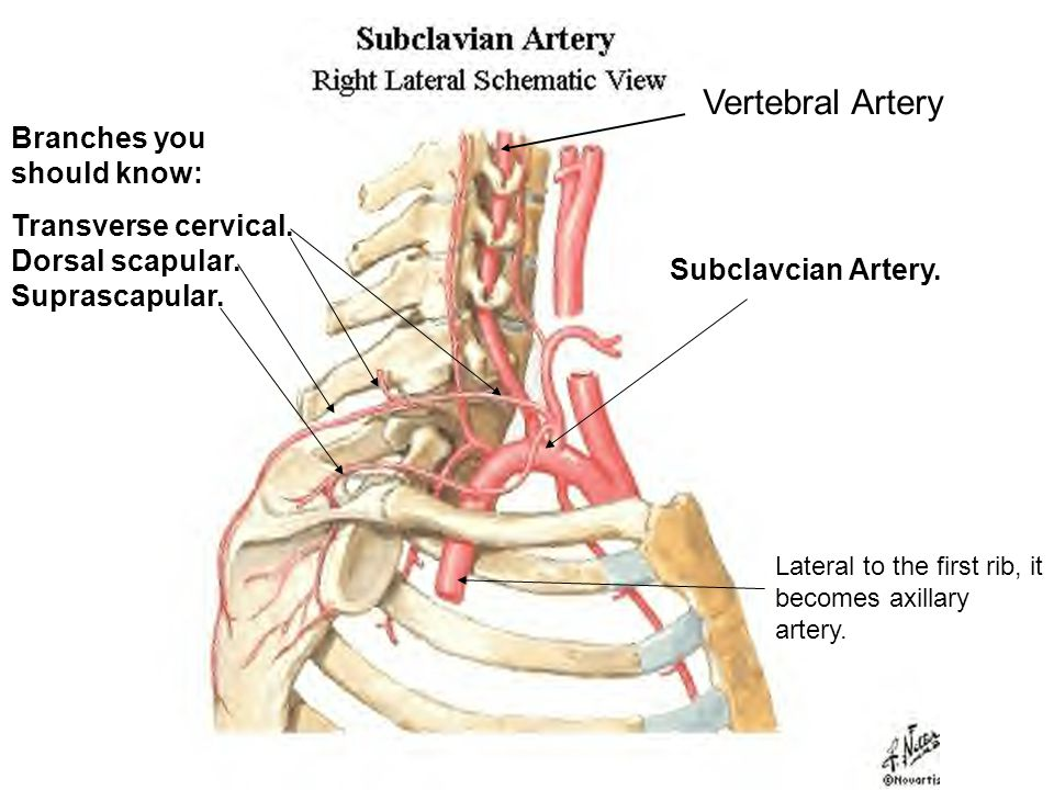 Subclavcian Artery. Lateral to the first rib, it becomes axillary artery.