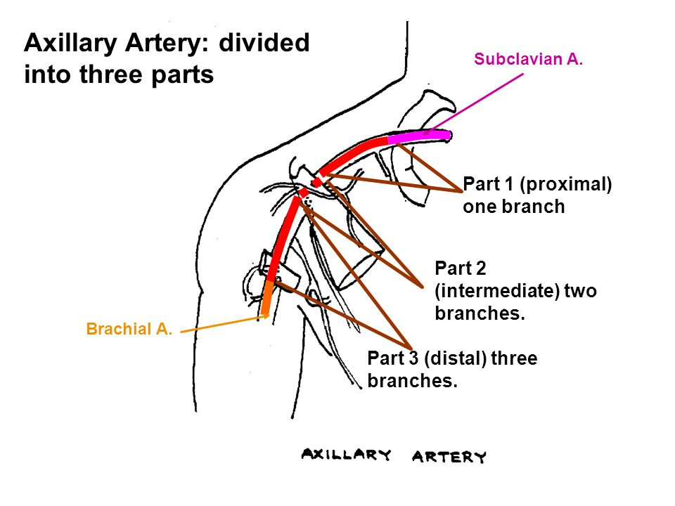 Axillary Artery: divided into three parts Part 1 (proximal) one branch Part 2 (intermediate) two branches. Part 3 (distal) three branches. Subclavian