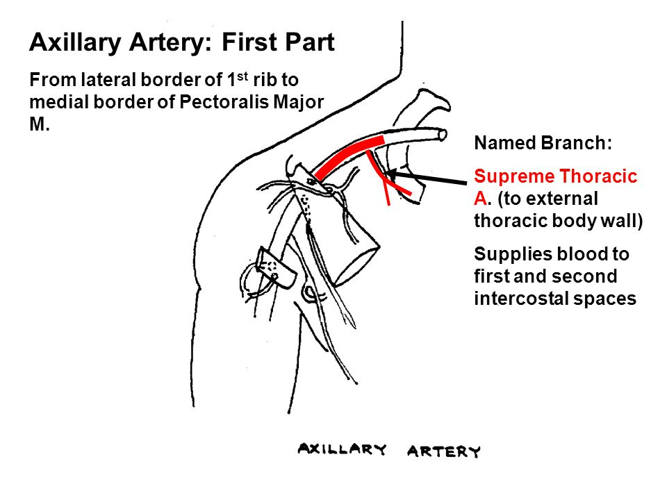 Axillary Artery: First Part From lateral border of 1 st rib to medial border of Pectoralis Major M. Named Branch: Supreme Thoracic A. (to external tho