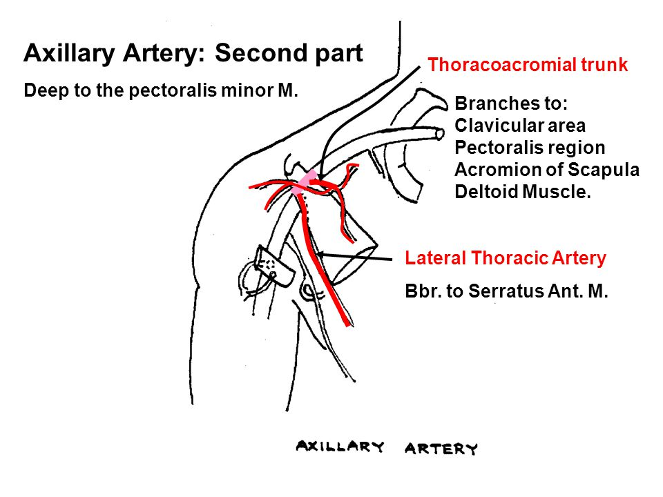 Axillary Artery: Second part Deep to the pectoralis minor M.