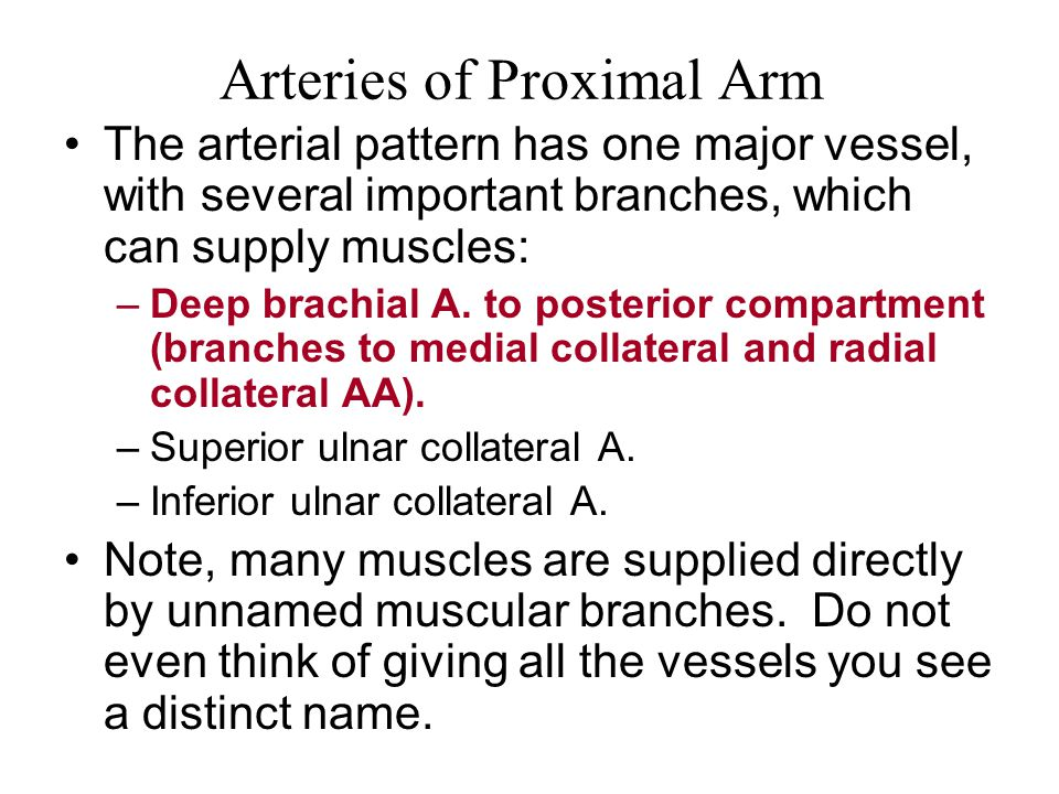 Arteries of Proximal Arm The arterial pattern has one major vessel, with several important branches, which can supply muscles: –Deep brachial A.