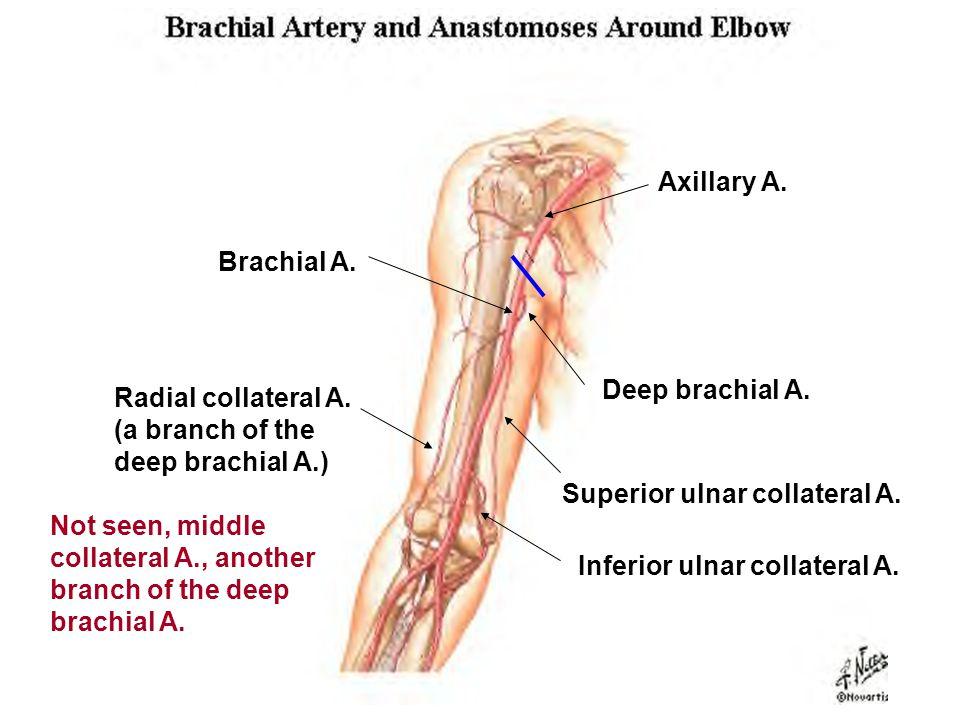 Axillary A. Brachial A. Deep brachial A. Superior ulnar collateral A.