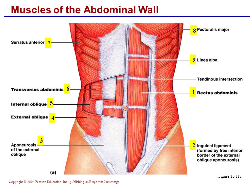 Muscles of the Abdominal Wall Figure 10.11a 3 4 5 6 7 8 9 2 1