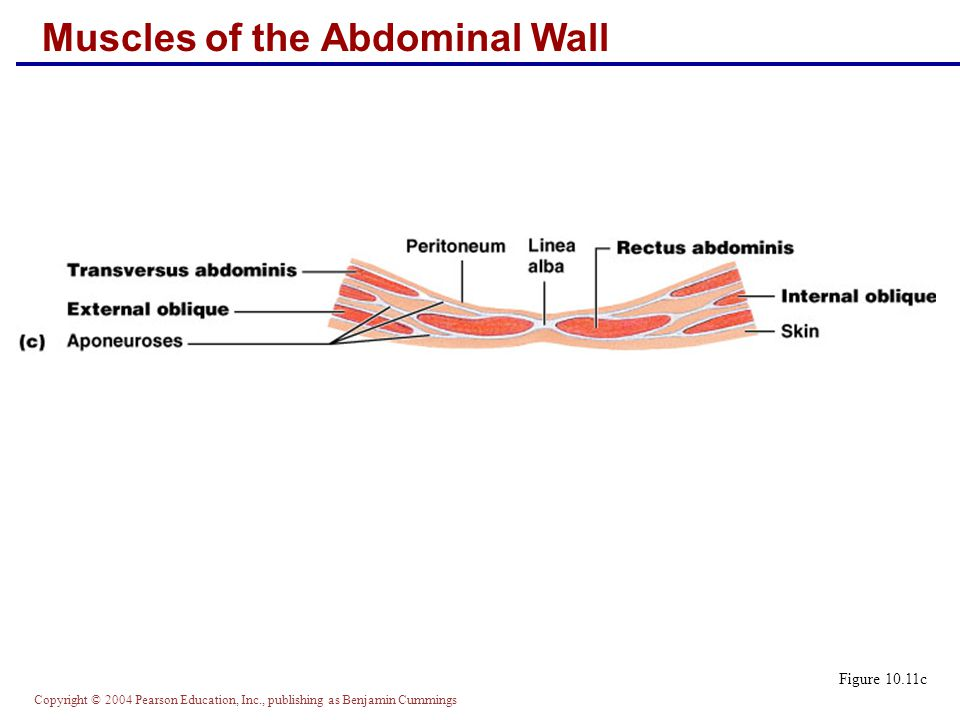 Copyright © 2004 Pearson Education, Inc., publishing as Benjamin Cummings Muscles of the Abdominal Wall Figure 10.11c