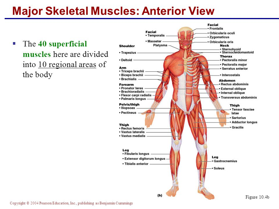 Copyright © 2004 Pearson Education, Inc., publishing as Benjamin Cummings Major Skeletal Muscles: Anterior View  The 40 superficial muscles here are divided into 10 regional areas of the body Figure 10.4b