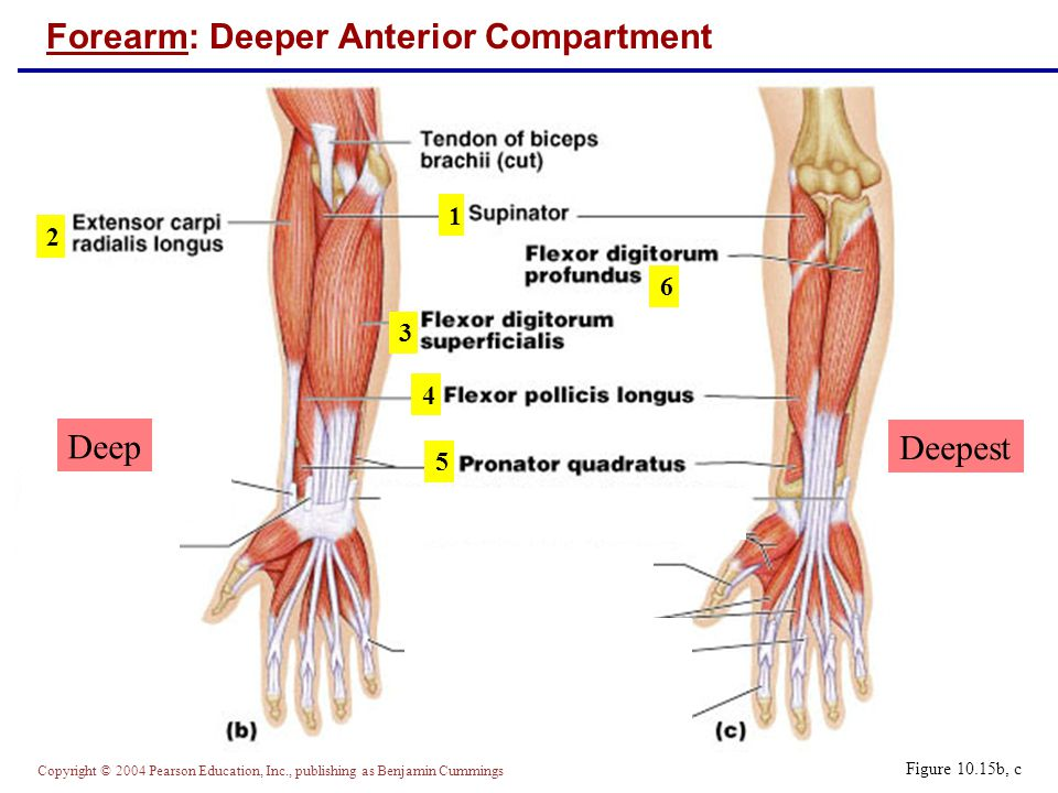 Copyright © 2004 Pearson Education, Inc., publishing as Benjamin Cummings Forearm: Deeper Anterior Compartment Figure 10.15b, c 1 2 3 4 5 6 Deep Deepest