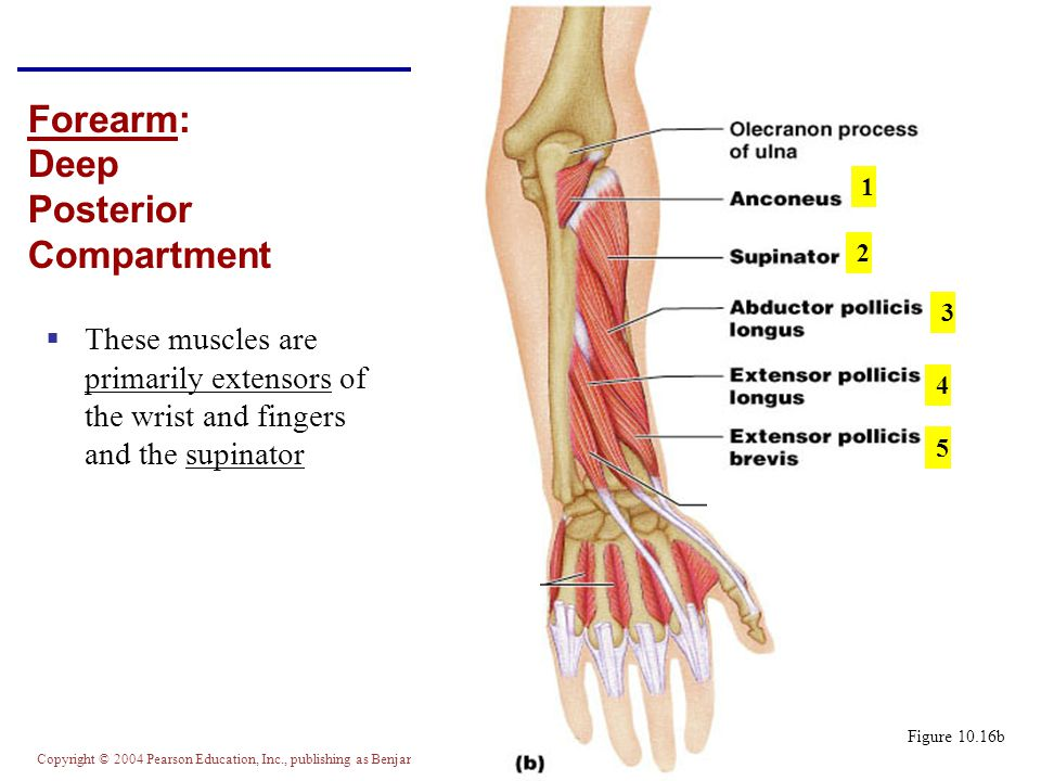 Copyright © 2004 Pearson Education, Inc., publishing as Benjamin Cummings Forearm: Deep Posterior Compartment  These muscles are primarily extensors of the wrist and fingers and the supinator Figure 10.16b 1 2 3 4 5