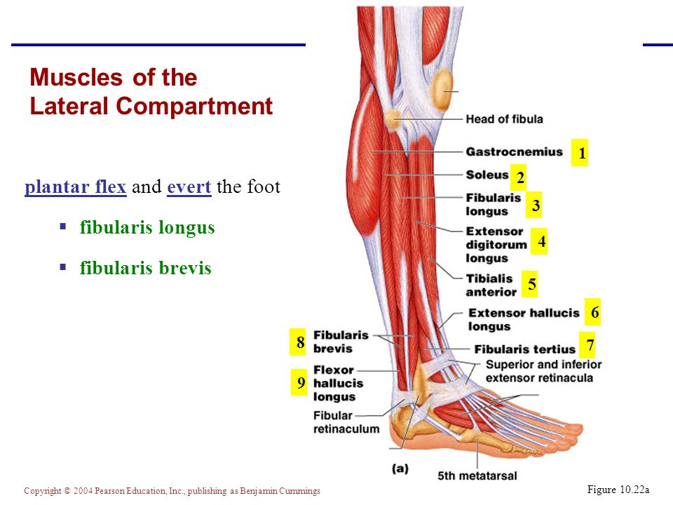 Copyright © 2004 Pearson Education, Inc., publishing as Benjamin Cummings Muscles of the Lateral Compartment plantar flex and evert the foot  fibularis longus  fibularis brevis Figure 10.22a 1 2 3 4 5 6 7 8 9