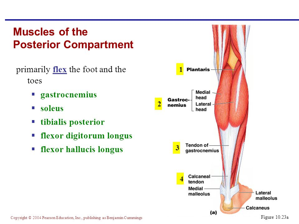 Copyright © 2004 Pearson Education, Inc., publishing as Benjamin Cummings Muscles of the Posterior Compartment primarily flex the foot and the toes  gastrocnemius  soleus  tibialis posterior  flexor digitorum longus  flexor hallucis longus Figure 10.23a 1 2 3 4
