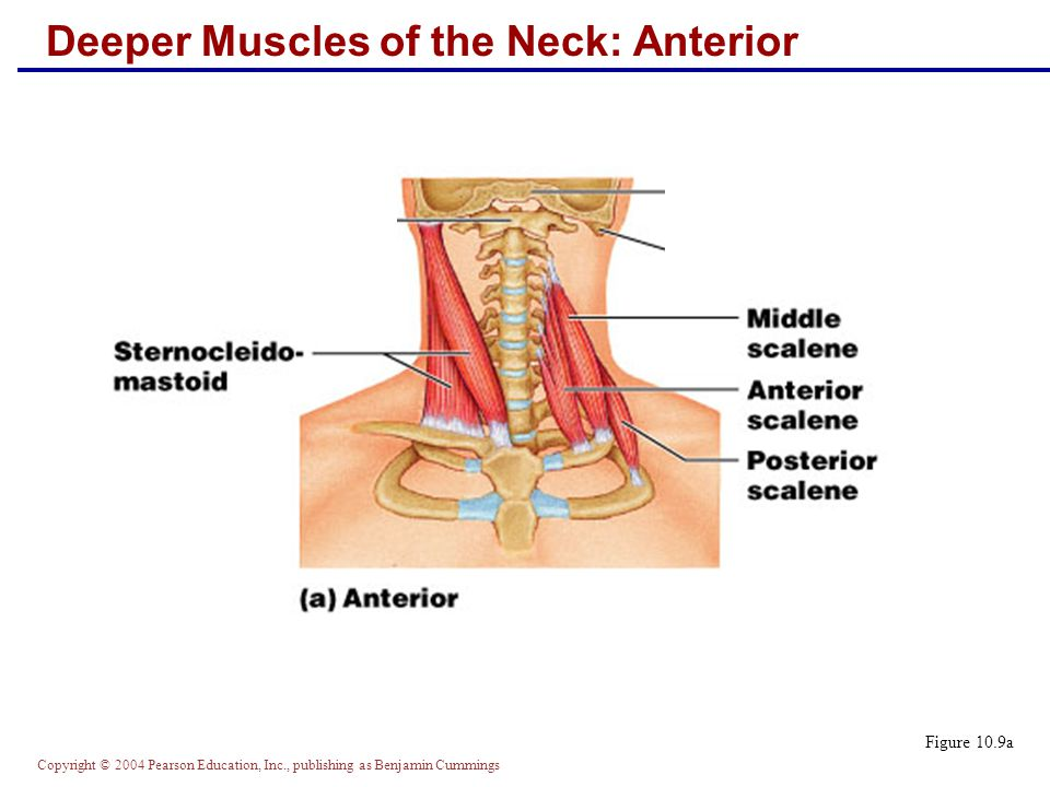 Deeper Muscles of the Neck: Anterior Figure 10.9a