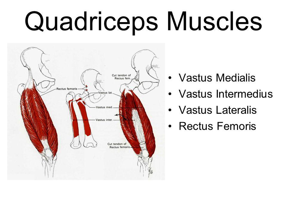Quadriceps Muscles Vastus Medialis Vastus Intermedius Vastus Lateralis Rectus Femoris
