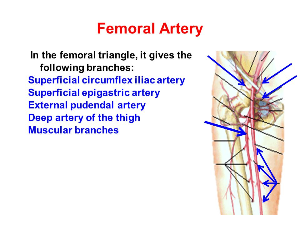 Dorsalis Pedis Artery It is the direct continuation of the anterior tibial artery at the midpoint between the malleoli It gives the following branches: Lateral tarsal Medial tarsal Arcuate 1 st dorsal metatarsal Deep plantar