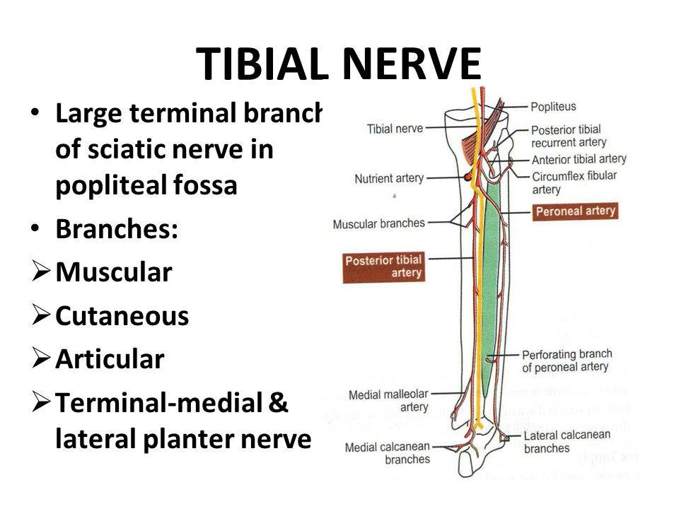 TIBIAL NERVE Large terminal branch of sciatic nerve in popliteal fossa Branches:  Muscular  Cutaneous  Articular  Terminal-medial & lateral planter nerve