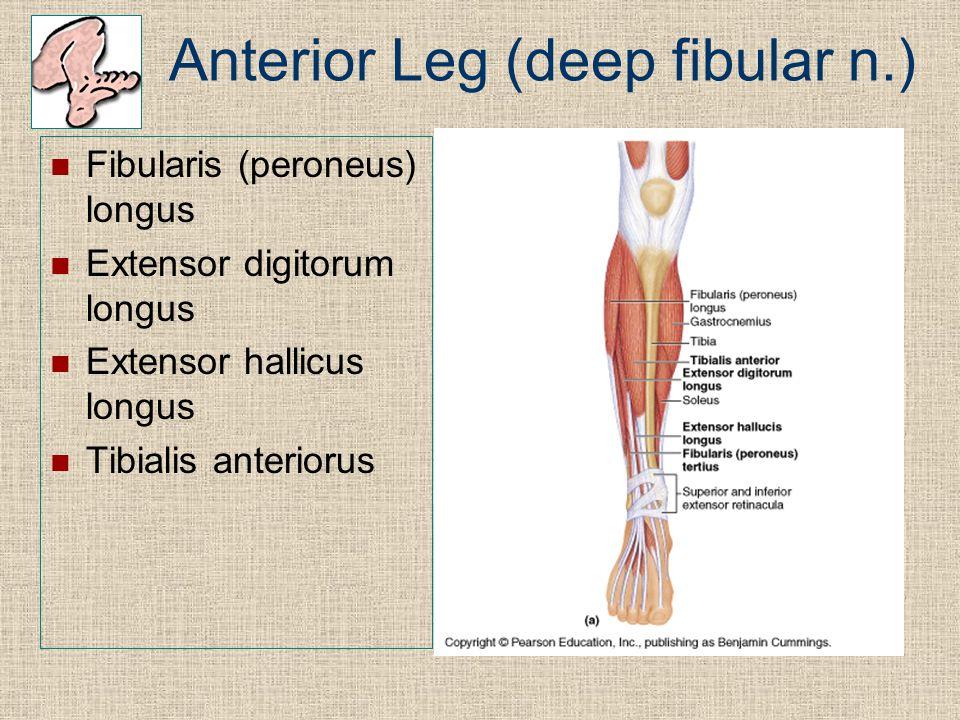 Anterior Leg (deep fibular n.) Fibularis (peroneus) longus Extensor digitorum longus Extensor hallicus longus Tibialis anteriorus
