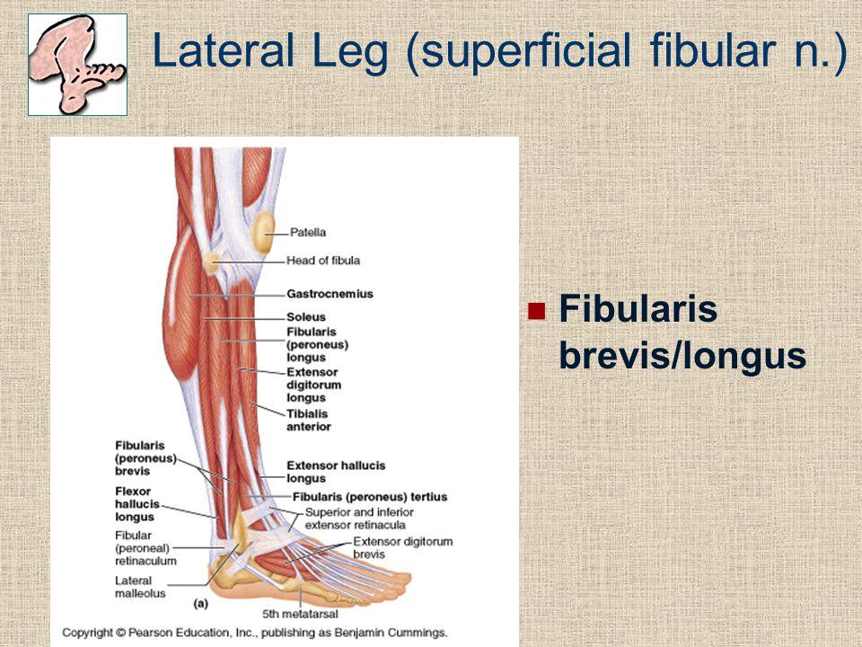 Lateral Leg (superficial fibular n.) Fibularis brevis/longus