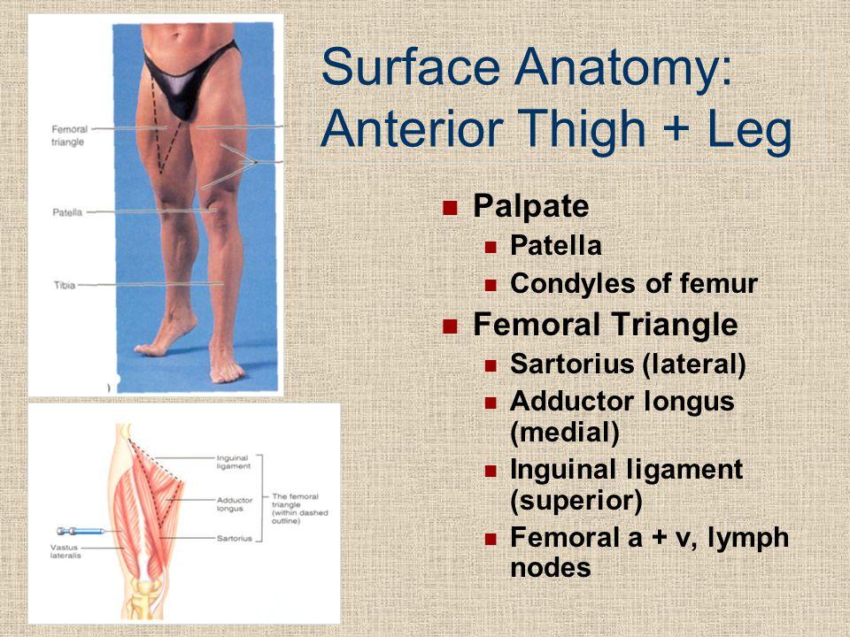 Surface Anatomy: Anterior Thigh + Leg Palpate Patella Condyles of femur Femoral Triangle Sartorius (lateral) Adductor longus (medial) Inguinal ligamen